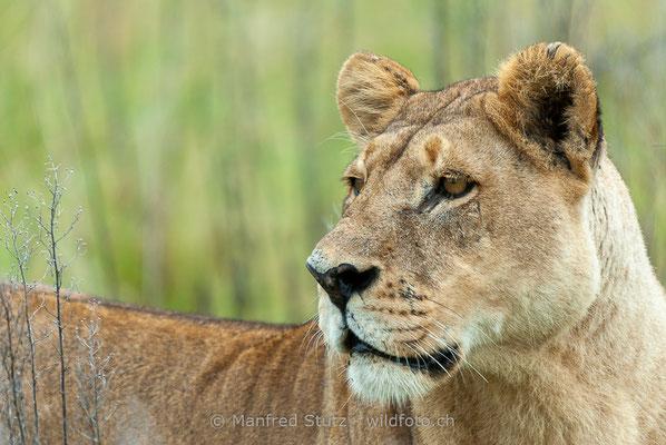 Afrikanischer Löwe, Panthera leo, Weiblich, _MSF6372