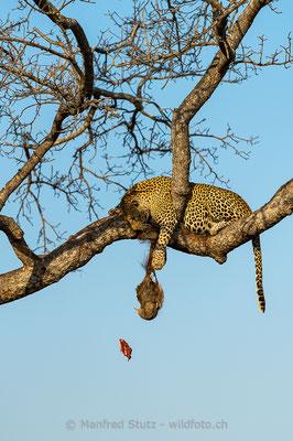 Afrikanischer Leopard, Panthera pardus pardus, 20170701-D4D9077