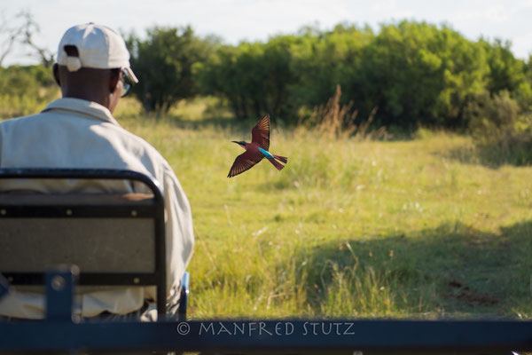 Southern Carmine Bee-eater,  Merops nubicoides, Karminspint