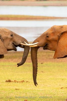 Afrikanischer Elefant, Loxodonta africana, 20131031-MSF1322