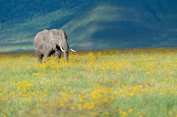 Afrikanischer Elefant, Loxodonta africana, 20140526-MSF0399