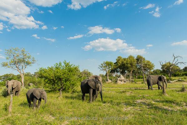 Afrikanischer Elefant, Loxodonta africana, 20150306-BW.2015.008