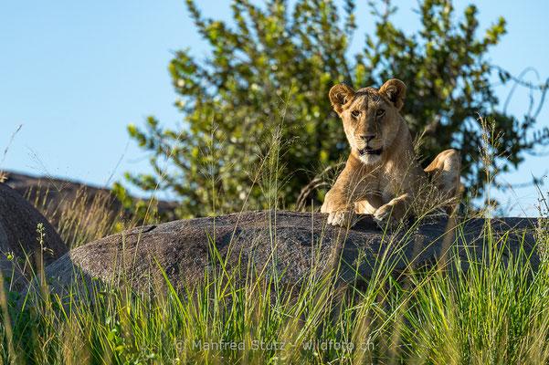 Afrikanischer Löwe, Panthera leo, Weiblich, 20140603-_MSF5777