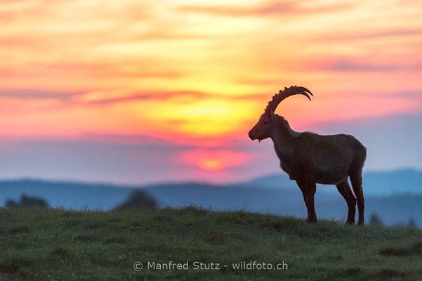Alpensteinbock, Capra ibex, Steinbock, Männlich, 20160609-D4D5184