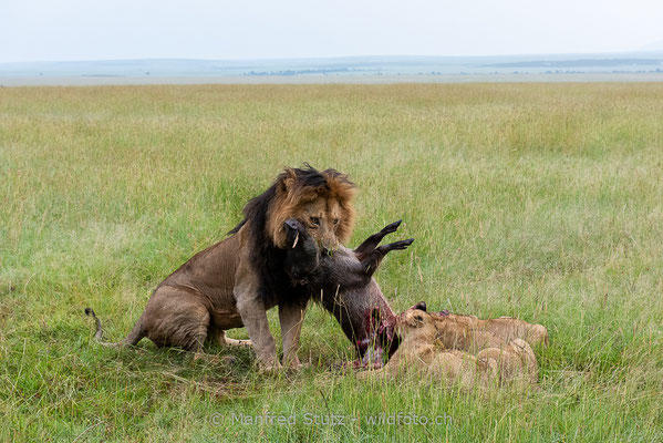 Afrikanischer Löwe, Panthera leo, Männlich, Jungtiere, 20160208-_8100467