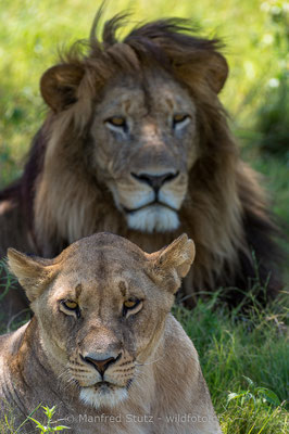 Afrikanischer Löwe, Panthera leo, Weiblich, Männlich, 20130223-_MSF1332