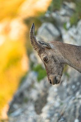 Alpensteinbock, Capra ibex, Steingeiss, Weiblich, 20150829-CH.2015.017