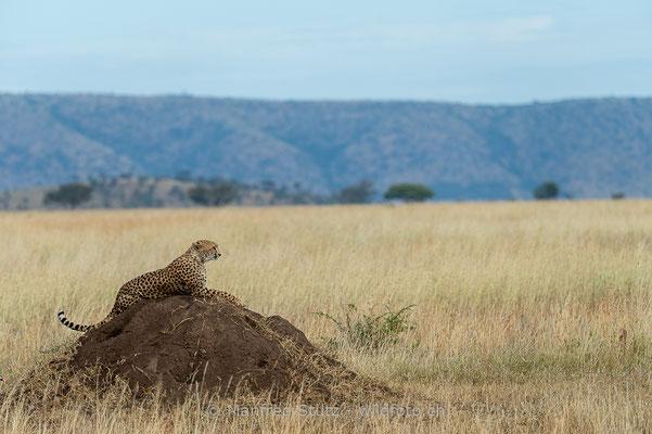Gepard, Acinonyx jubatus, 20140529-MSF2004