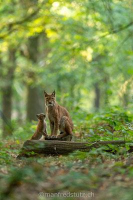 Mama und Jungtier, Eurasischer Luchs, Wildpark Gangelt, Deutschland