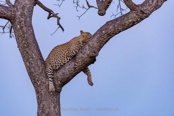 Afrikanischer Leopard, Panthera pardus pardus, 20170701-DSC-3467