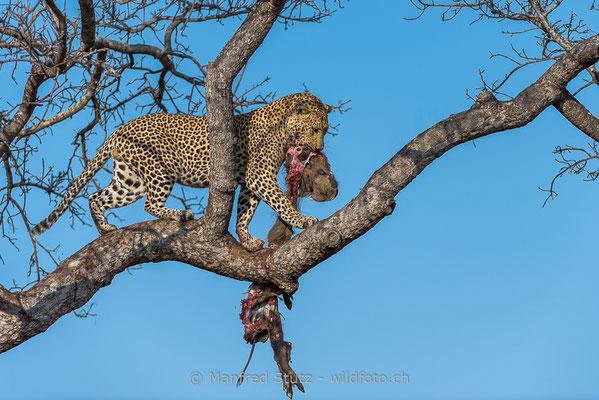 Afrikanischer Leopard, Panthera pardus pardus, 20170701-DSC-3167