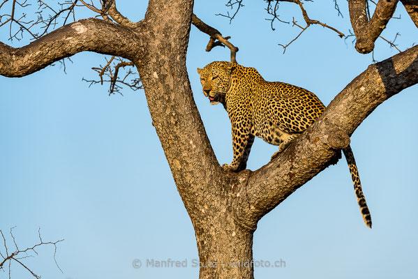 Afrikanischer Leopard, Panthera pardus pardus, 20170701-DSC-3310