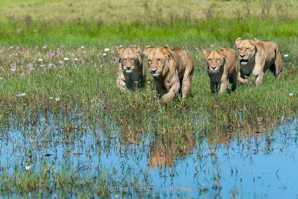 Afrikanischer Löwe, Panthera leo, Weiblich, Männlich, _MSF7858