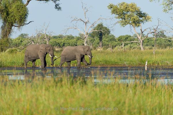 Afrikanischer Elefant, Loxodonta africana, 20150314-BW.2015.051