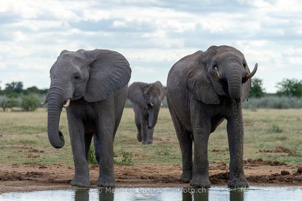 Afrikanischer Elefant, Loxodonta africana, 20150304-MSF0477
