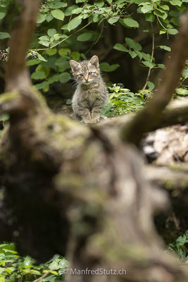 Junge Wildkatze, Wildnispark Zürich