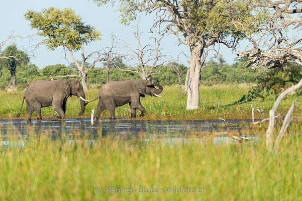 Afrikanischer Elefant, Loxodonta africana, 20150314-i00545