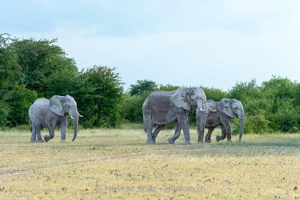 Afrikanischer Elefant, Loxodonta africana, 20150302-MSF9096
