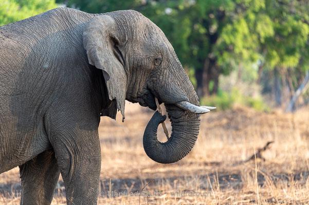 Afrikanischer Elefant, Loxodonta africana, 20141021-MSF1859