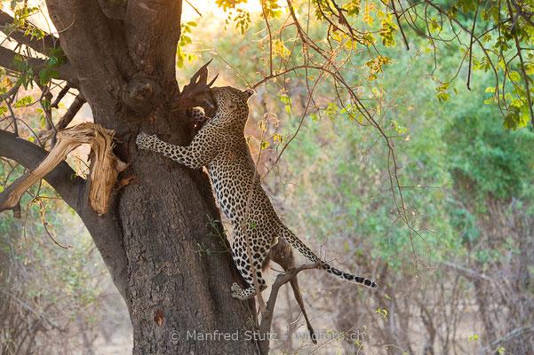 Afrikanischer Leopard, Panthera pardus pardus, 20141024-MSF3549