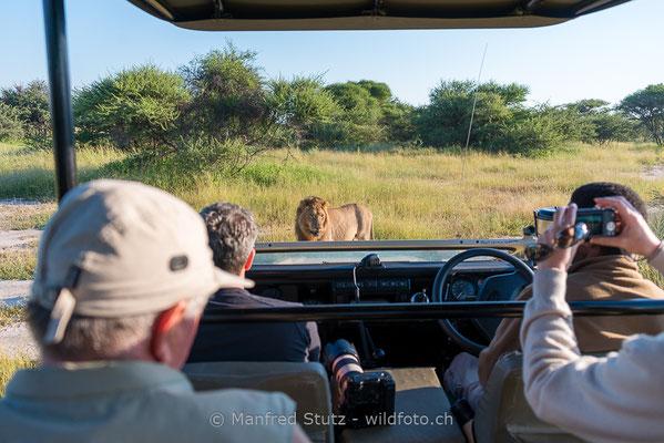 Afrikanischer Löwe, Panthera leo, Männlich, 20130224-_DSC3316