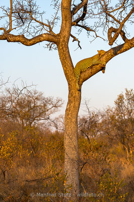 Afrikanischer Leopard, Panthera pardus pardus, 20170701-D4D9257