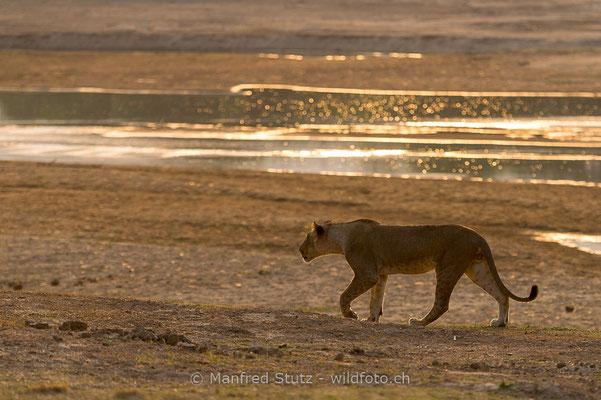 Afrikanischer Löwe, Panthera leo, Weiblich, _MSF4118