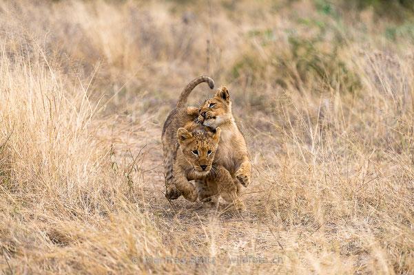 Afrikanischer Löwe, Panthera leo, Jungtiere, 20170704-_D4D0635