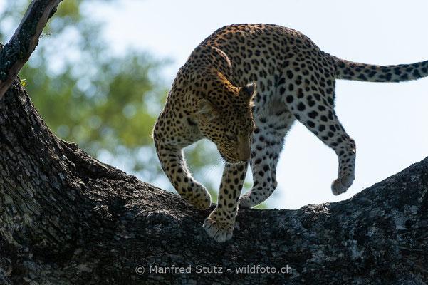 Afrikanischer Leopard, Panthera pardus pardus, 20130226-MSF2986