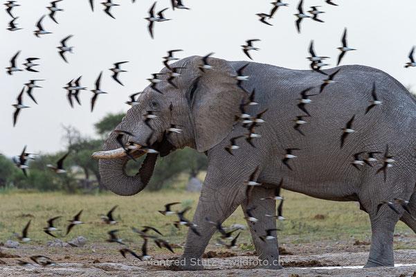 Afrikanischer Elefant, Loxodonta africana, 20150302-MSF9118