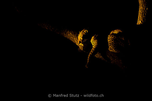 Afrikanischer Leopard, Panthera pardus pardus, 20170701-D4D9439