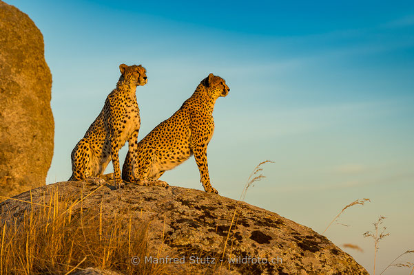 Gepard, Acinonyx jubatus, 20161007-E.2016.006