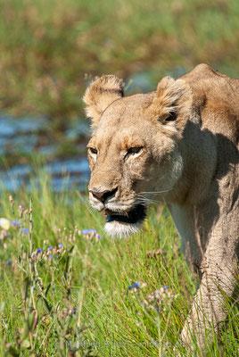 Afrikanischer Löwe, Panthera leo, Weiblich, _MSF7976