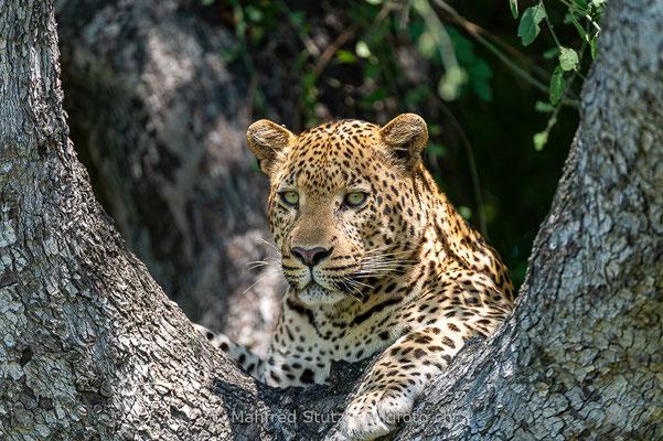 Afrikanischer Leopard, Panthera pardus pardus, 20130224-MSF2215