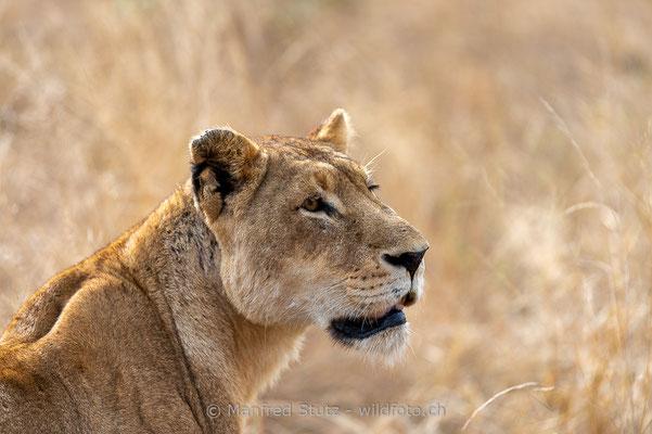 Afrikanischer Löwe, Panthera leo, Weiblich, 20170704-_D4D1153