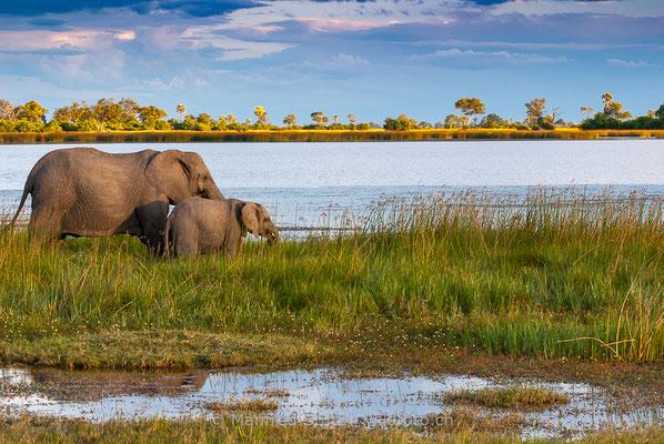Afrikanischer Elefant, Loxodonta africana, 20120326-MSF5930
