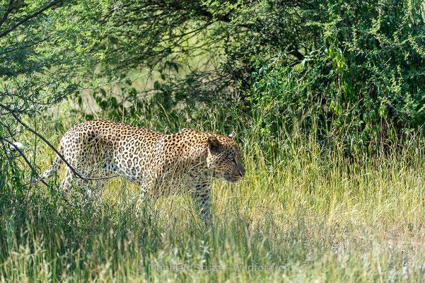 Afrikanischer Leopard, Panthera pardus pardus, 20130224-MSF2108