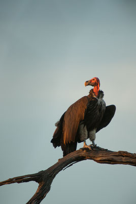 Lappet-faced Vulture, Torgos tracheliotos, Ohrengeier
