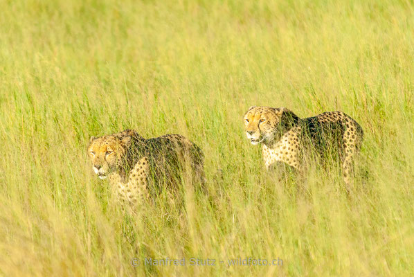 Gepard, Acinonyx jubatus, 20120401-MSF8517