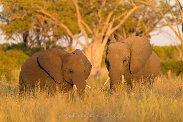 Afrikanischer Elefant, Loxodonta africana, 20150311-BW.2015.031