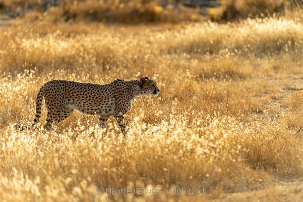 Gepard, Acinonyx jubatus, 20161007-D4D7076