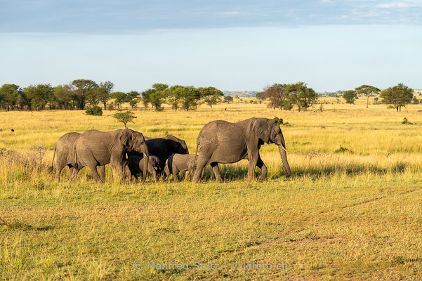 Afrikanischer Elefant, Loxodonta africana, 20140602-MSF4881