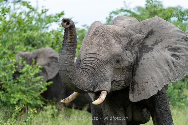 Afrikanischer Elefant, Loxodonta africana, 20130221-MSF9668