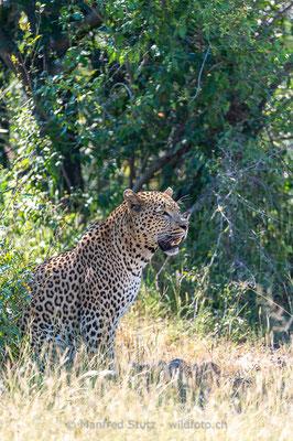 Afrikanischer Leopard, Panthera pardus pardus, 20130224-MSF2085