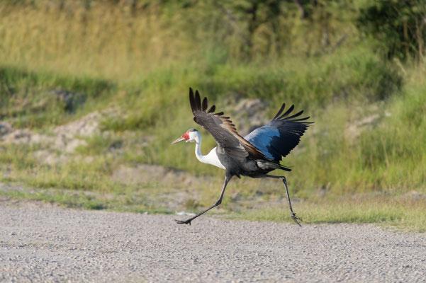 Wattled Crane, Bugeranus carunculatus, Klunkerkranich