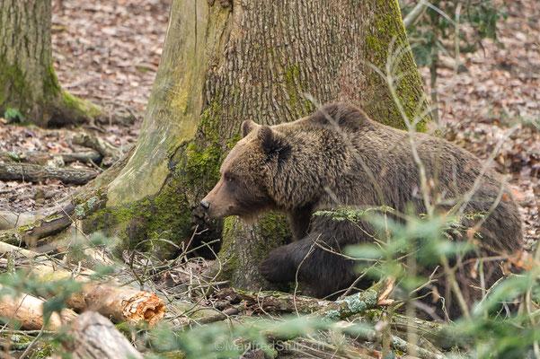 Bärenmutter im Wildnispark Zürich