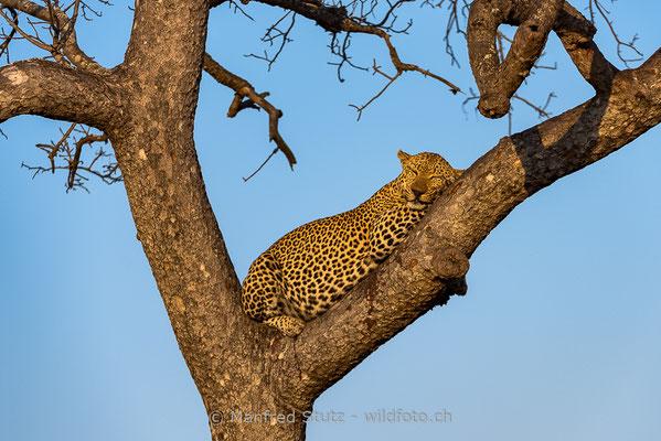 Afrikanischer Leopard, Panthera pardus pardus, 20170701-DSC-3324