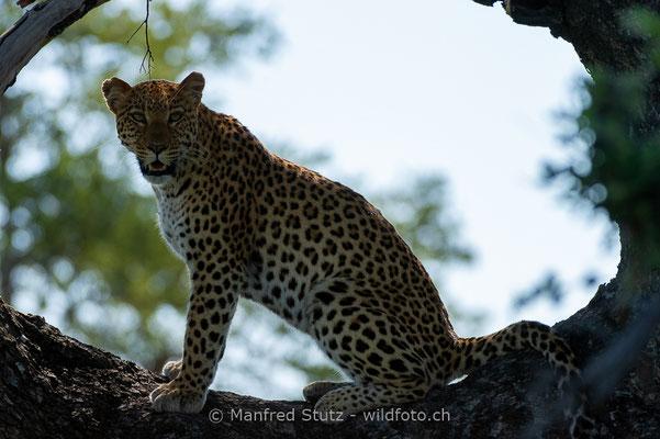 Afrikanischer Leopard, Panthera pardus pardus, 20130226-MSF2967