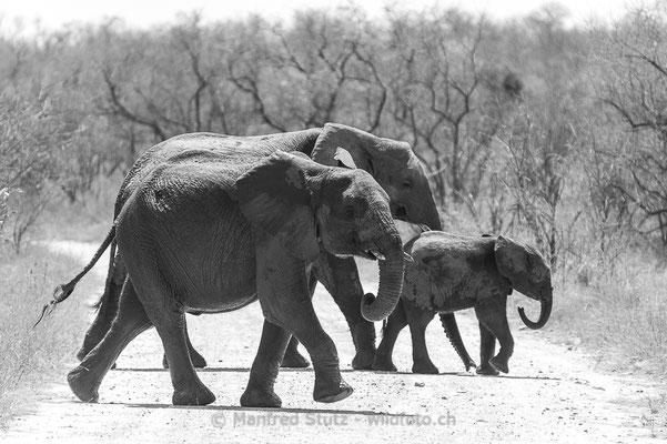 Afrikanischer Elefant, Loxodonta africana, 20120921-MSF4598