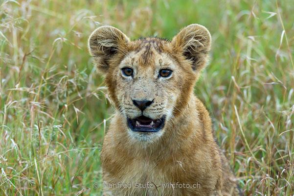 Afrikanischer Löwe, Panthera leo, Jungtier, 20140603-_MSF6395